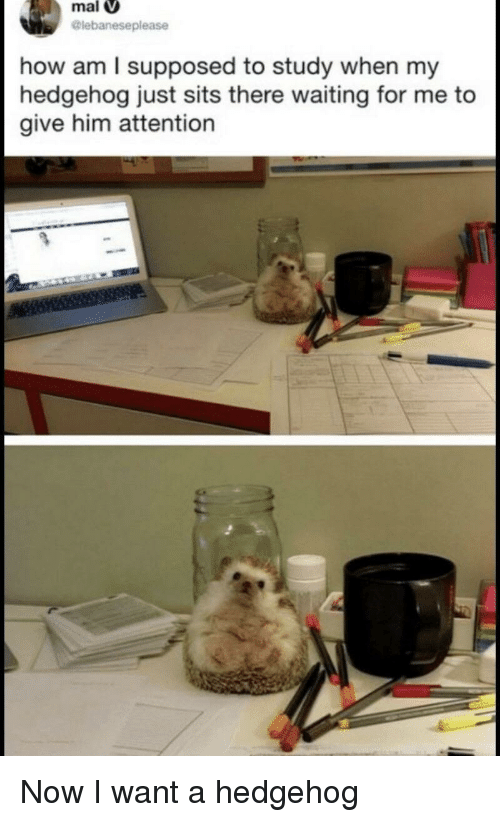 Hedgehog, Waiting..., and How: mal  lebaneseplease  how am I supposed to study when my  hedgehog just sits there waiting for me to  give him attention Now I want a hedgehog