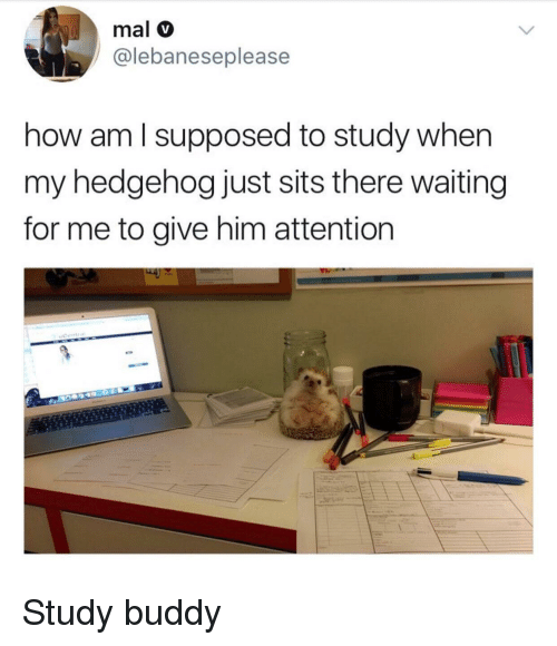 Hedgehog, Waiting..., and How: mal v  @lebaneseplease  how am l supposed to study when  my hedgehog just sits there waiting  for me to give him attention Study buddy