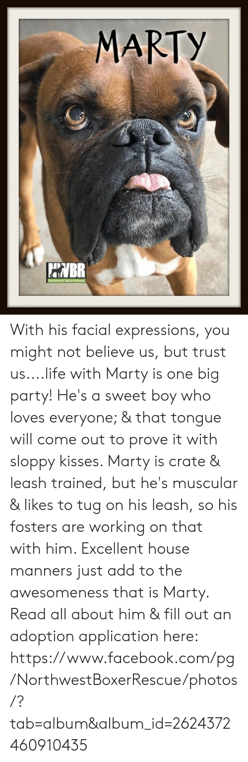Facebook, Life, and Memes: MARTY With his facial expressions, you might not believe us, but trust us....life with Marty is one big party!  He's a sweet boy who loves everyone; & that tongue will come out to prove it with sloppy kisses.  Marty is crate & leash trained, but he's muscular & likes to tug on his leash, so his fosters are working on that with him.  Excellent house manners just add to the awesomeness that is Marty.  Read all about him & fill out an adoption application here:  https://www.facebook.com/pg/NorthwestBoxerRescue/photos/?tab=album&album_id=2624372460910435