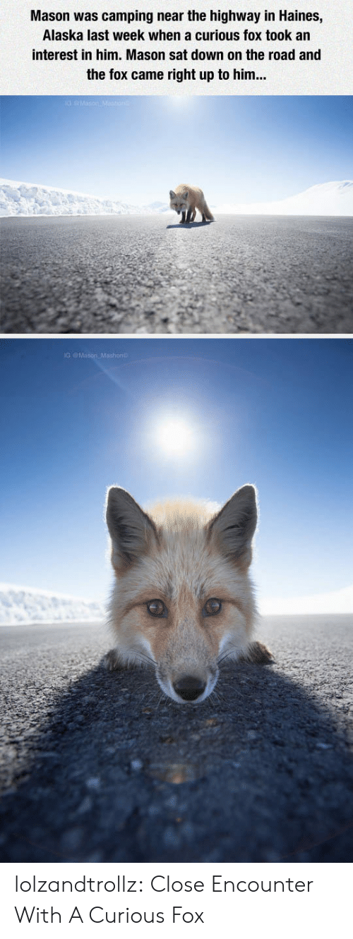Alaska: Mason was camping near the highway in Haines,  Alaska last week when a curious fox took an  interest in him. Mason sat down on the road and  the fox came right up to him... lolzandtrollz:  Close Encounter With A Curious Fox