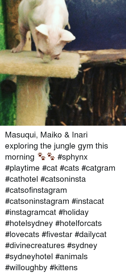 Animals, Cats, and Gym: Masuqui, Maiko & Inari exploring the jungle gym this morning 🐾🐾 #sphynx #playtime #cat #cats #catgram #cathotel #catsoninsta #catsofinstagram #catsoninstagram #instacat #instagramcat #holiday #hotelsydney #hotelforcats #lovecats #fivestar #dailycat #divinecreatures #sydney #sydneyhotel  #animals #willoughby #kittens