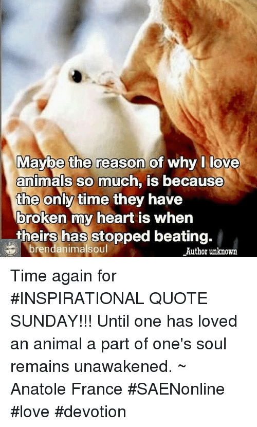 Anime A: Maybe the reason of  why I love  animals so much, is because  the only time they have  broken my heart is when  theirs has stopped beating.  brendanimalsoul  Author unknown Time again for #INSPIRATIONAL QUOTE SUNDAY!!!  Until one has loved an animal a part of one's soul remains unawakened.  ~ Anatole France  #SAENonline #love #devotion