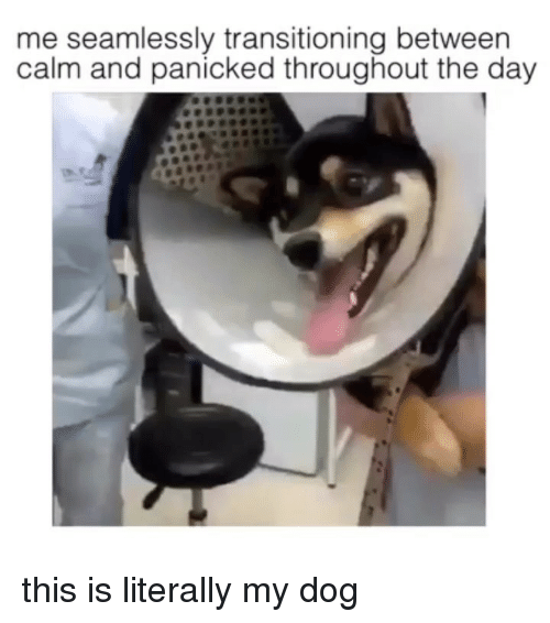 Memes, 🤖, and Dog: me seamlessly transitioning between  calm and panicked throughout the day this is literally my dog