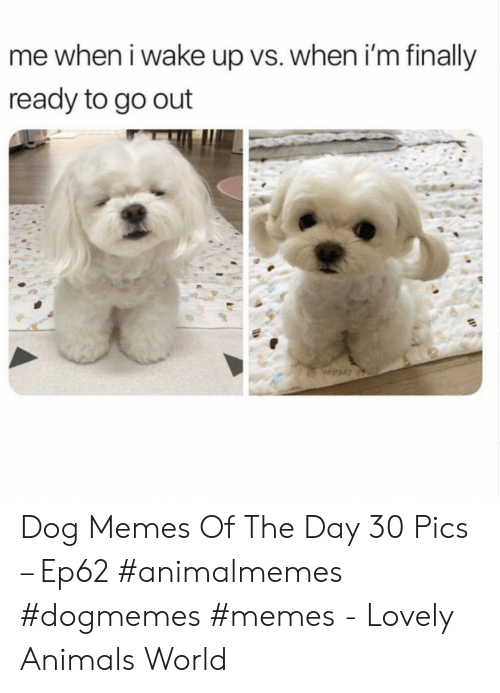 Animals, Memes, and World: me when i wake up vs. when i'm finally  ready to go out Dog Memes Of The Day 30 Pics – Ep62 #animalmemes #dogmemes #memes - Lovely Animals World