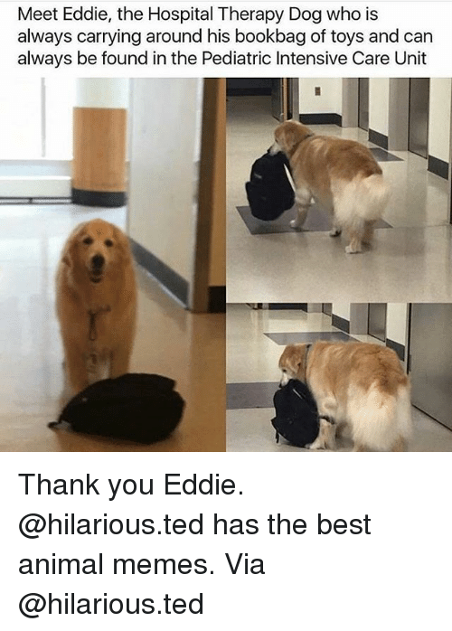 Meet Eddie The Hospital Therapy Dog Who Is Always Carrying