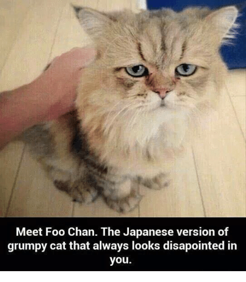 Grumpy Cats: Meet Foo Chan. The Japanese version of  grumpy cat that always looks disapointed in  you.