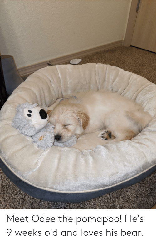 Odee: Meet Odee the pomapoo! He's 9 weeks old and loves his bear.