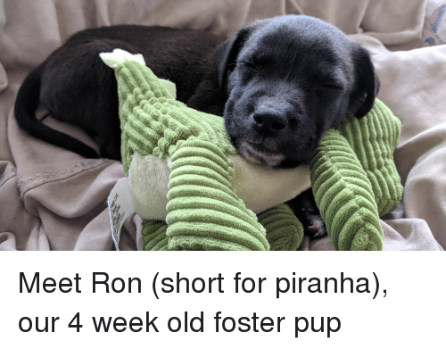collie: Meet Ron (short for piranha), our 4 week old foster pup