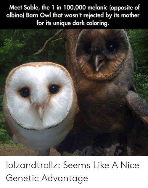 Tumblr, Blog, and Nice: Meet Sable, the 1 in 100,000 melanic (opposite of  albino) Barn Owl that wasn't rejected by its mother  for its unique dark coloring. lolzandtrollz:  Seems Like A Nice Genetic Advantage