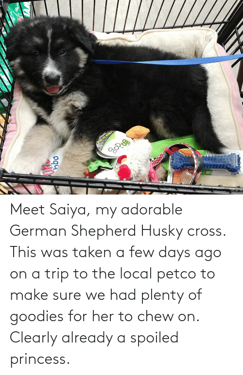 a-few-days: Meet Saiya, my adorable German Shepherd Husky cross. This was taken a few days ago on a trip to the local petco to make sure we had plenty of goodies for her to chew on. Clearly already a spoiled princess.