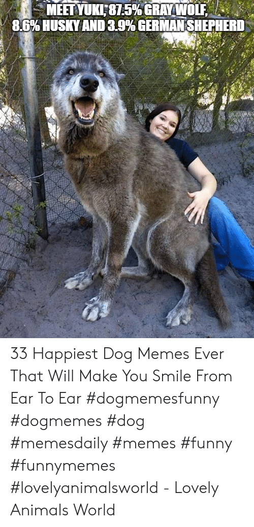 German Shepherd: MEET YUKI:81.5% GRAYWOLEA  8.6% USKY AND 3.9% GERMAN SHEPHERD 33 Happiest Dog Memes Ever That Will Make You Smile From Ear To Ear #dogmemesfunny #dogmemes #dog #memesdaily #memes #funny #funnymemes #lovelyanimalsworld - Lovely Animals World