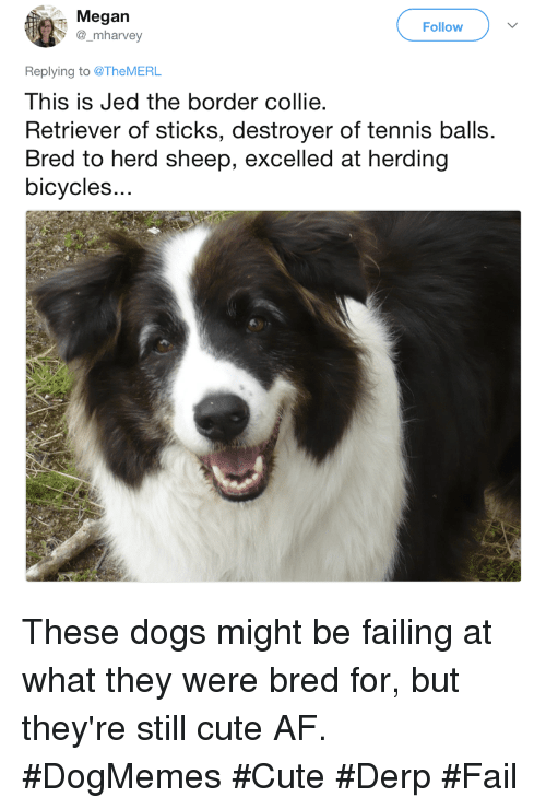 collie: Megan  @_mharvey  Follow  Replying to @TheMERL  This is Jed the border collie  Retriever of sticks, destroyer of tennis balls.  Bred to herd sheep, excelled at herding  bicycles.. These dogs might be failing at what they were bred for, but they're still cute AF. #DogMemes #Cute #Derp #Fail