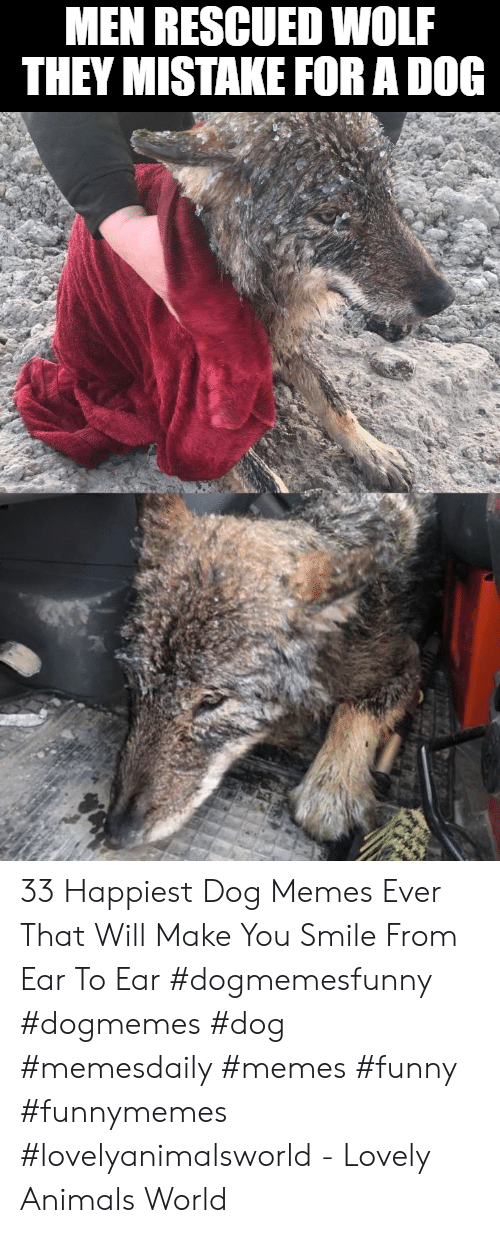 Animals, Funny, and Memes: MEN RESCUED WOLF  THEY MISTAKE FOR A DOG 33 Happiest Dog Memes Ever That Will Make You Smile From Ear To Ear #dogmemesfunny #dogmemes #dog #memesdaily #memes #funny #funnymemes #lovelyanimalsworld - Lovely Animals World