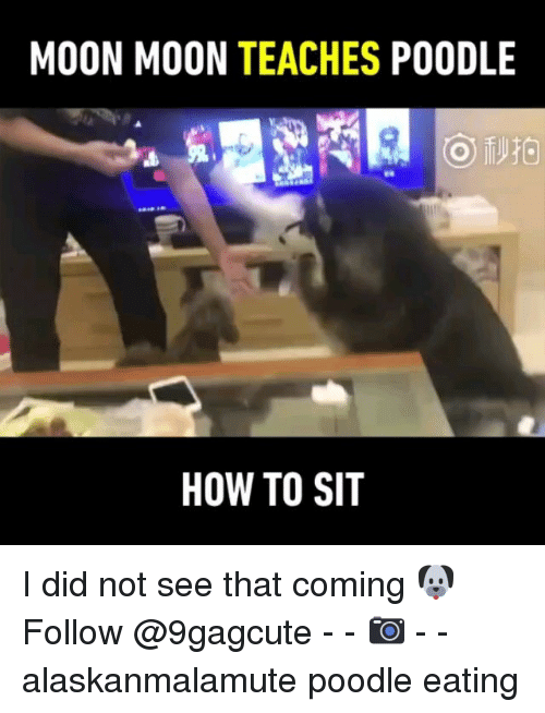 moon moon: MOON MOON TEACHES POODLE  HOW TO SIT I did not see that coming 🐶 Follow @9gagcute - - 📷王白菜 - - alaskanmalamute poodle eating