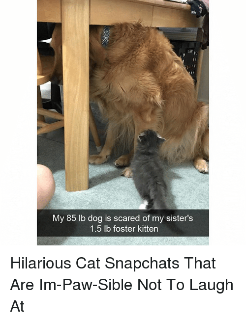 Funny, Hilarious, and Dog: My 85 lb dog is scared of my sister's  1.5 lb foster kitten Hilarious Cat Snapchats That Are Im-Paw-Sible Not To Laugh At