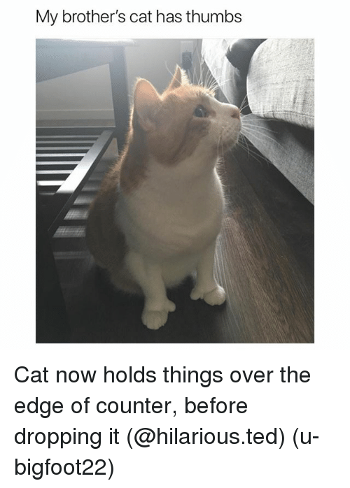 over the edge: My brother's cat has thumbs Cat now holds things over the edge of counter, before dropping it (@hilarious.ted) (u-bigfoot22)