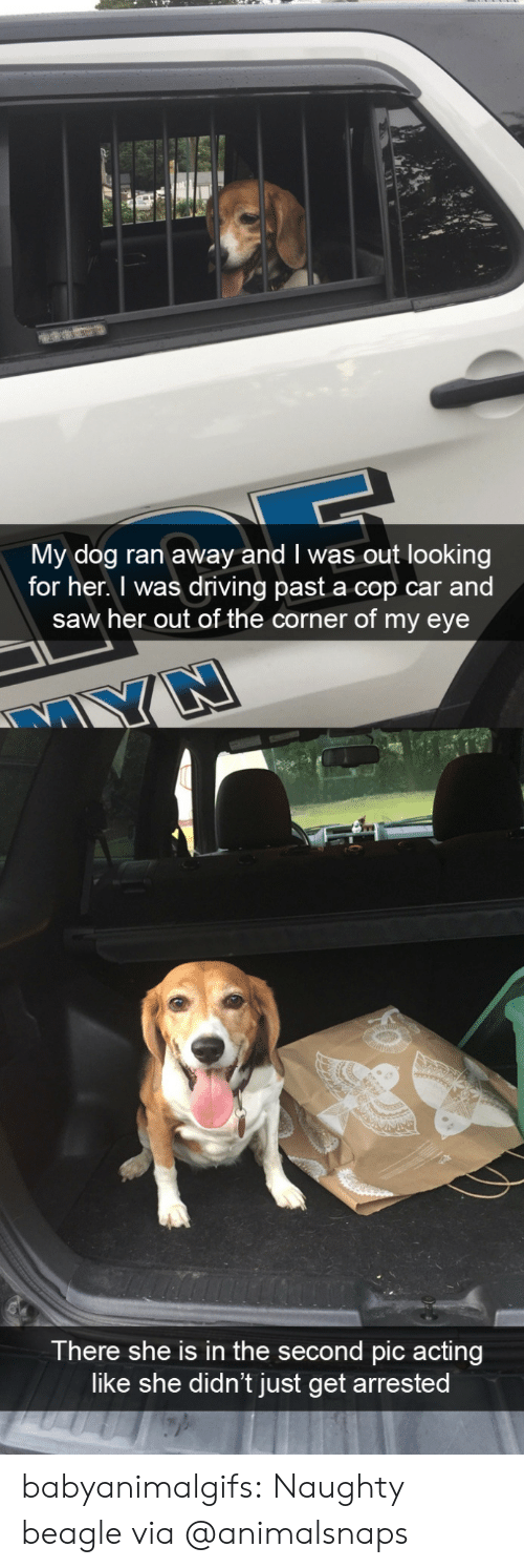 Driving, Saw, and Tumblr: My dog ran away and I was out looking  for her. I was driving past a cop car and  saw her out of the corner of my eye  There she is in the second pic acting  like she didn't just get arrested babyanimalgifs:  Naughty beagle via @animalsnaps