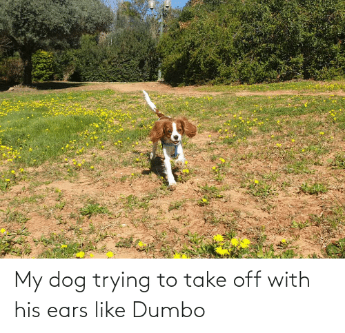 Dumbo: My dog trying to take off with his ears like Dumbo