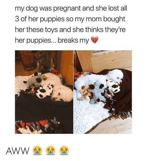 Aww, Memes, and Pregnant: my dog was pregnant and she lost all  3 of her puppies so my mom bought  her these toys and she thinks they're  her puppies... breaks my AWW 😭 😭 😭