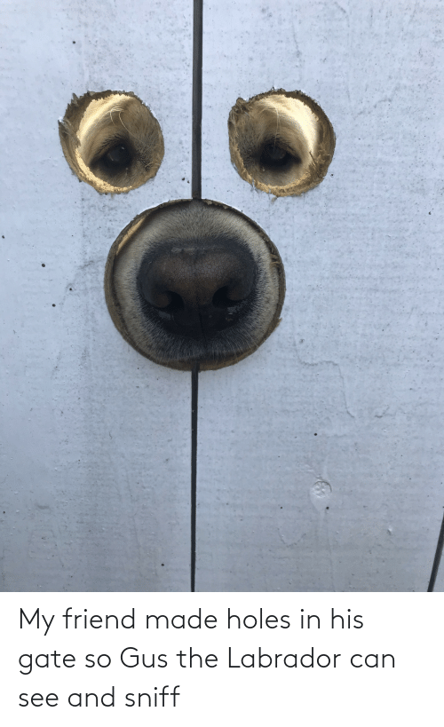 my friend: My friend made holes in his gate so Gus the Labrador can see and sniff