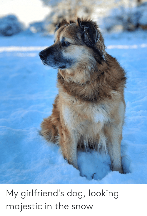 Snow, Girlfriends, and Dog: My girlfriend's dog, looking majestic in the snow