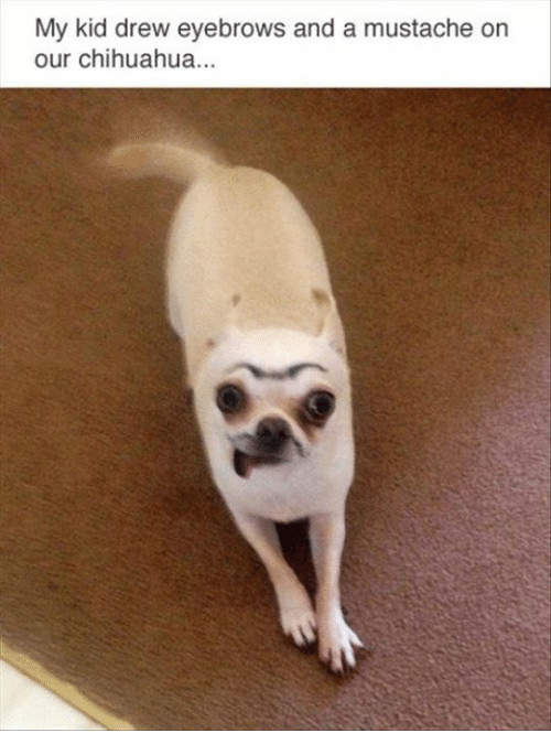 Chihuahua, Memes, and 🤖: My kid drew eyebrows and a mustache orn  our chihuahua...