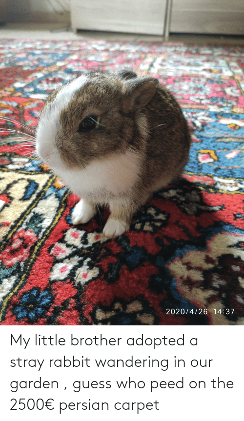 peed: My little brother adopted a stray rabbit wandering in our garden , guess who peed on the 2500€ persian carpet