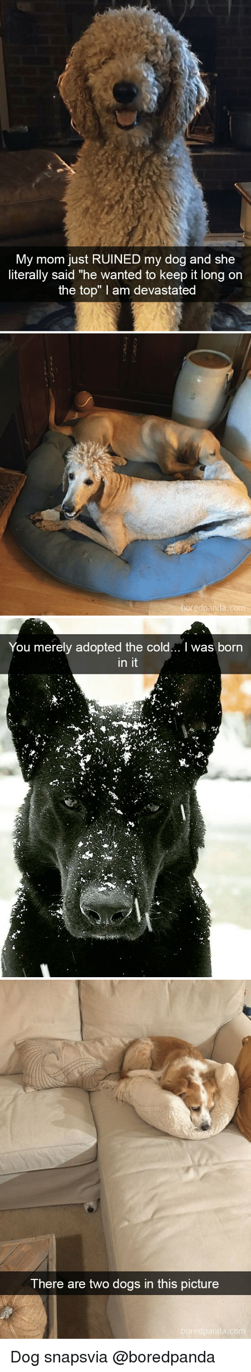"Dogs, Cold, and Mom: My mom just RUINED my dog and she  literally said ""he wanted to keep it long on  the top"" I am devastated  edpanda.co   You merely adopted the cold... I was born  in it   There are two dogs in this picture Dog snapsvia @boredpanda"