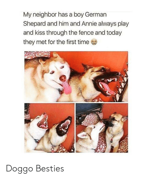 german shepard: My neighbor has a boy German  Shepard and him and Annie always play  and kiss through the fence and today  they met for the first time  ,3 Doggo Besties