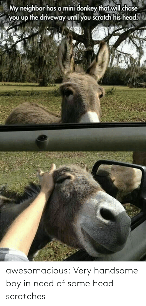 Donkey, Head, and Tumblr: My neighbor has a mini donkey that will chase  you up the driveway until you scratch his head. awesomacious:  Very handsome boy in need of some head scratches