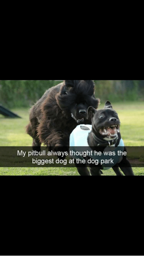 My Pitbull Always Thought He Was the Biggest Dog at the Dog Park