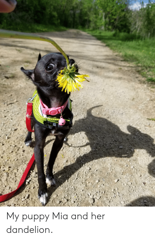 Puppy, Mia, and Her: My puppy Mia and her dandelion.