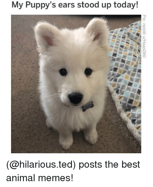 Best Animal Memes: My Puppy's ears stood up today! (@hilarious.ted) posts the best animal memes!