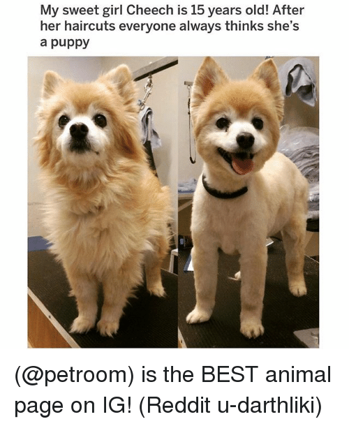 best animal: My sweet girl Cheech is 15 years old! After  her haircuts everyone always thinks she's  a puppy (@petroom) is the BEST animal page on IG! (Reddit u-darthliki)
