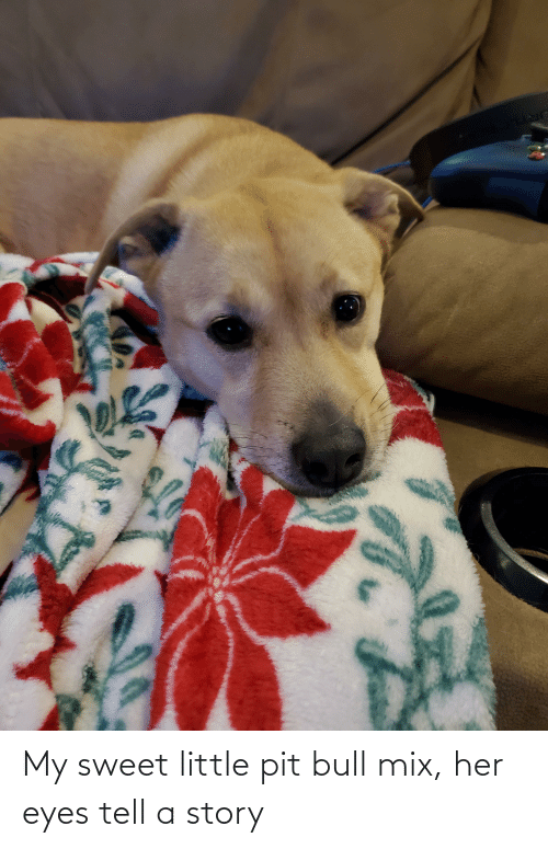 pit bull: My sweet little pit bull mix, her eyes tell a story