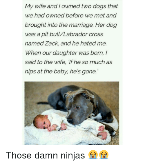 pit bull: My wife and I owned two dogs that  we had owned before we met and  brought into the marriage. Her dog  was a pit bull/Labrador cross  named Zack, and he hated me.  When our daughter was born,  said to the wife, 'If he so much as  nips at the baby, he's gone. Those damn ninjas 😭😭