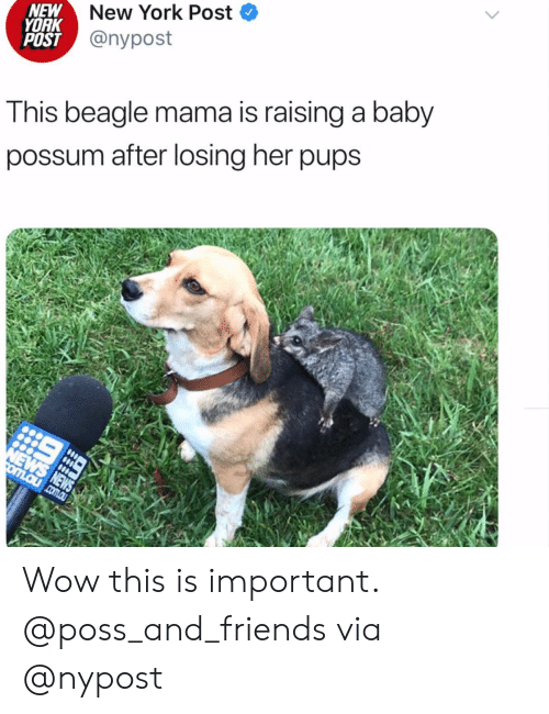 Friends, Instagram, and New York: New York Post  NEW  YORK  POST @nypost  This beagle mama is raising a baby  possum after losing her pups  NEWS NEWS  omLaucom.au Wow this is important. @poss_and_friends via @nypost