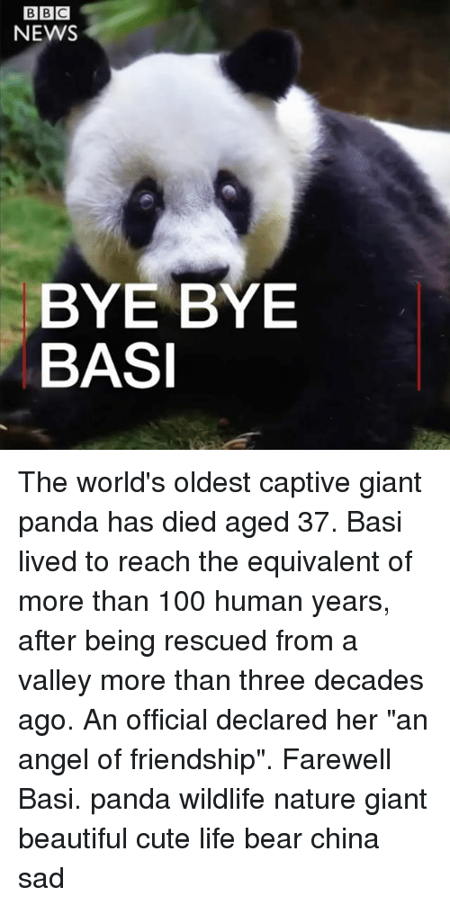 """beautifull: NEWS  BYE BYE  BASI The world's oldest captive giant panda has died aged 37. Basi lived to reach the equivalent of more than 100 human years, after being rescued from a valley more than three decades ago. An official declared her """"an angel of friendship"""". Farewell Basi. panda wildlife nature giant beautiful cute life bear china sad"""