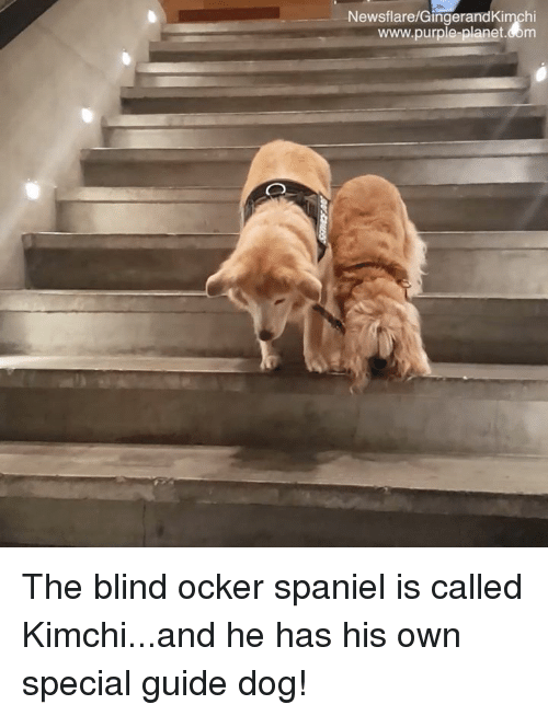 Memes, Purple, and 🤖: Newsflare/GingerandKimchi  www.purple-planet.com The blind ocker spaniel is called Kimchi...and he has his own special  guide dog!