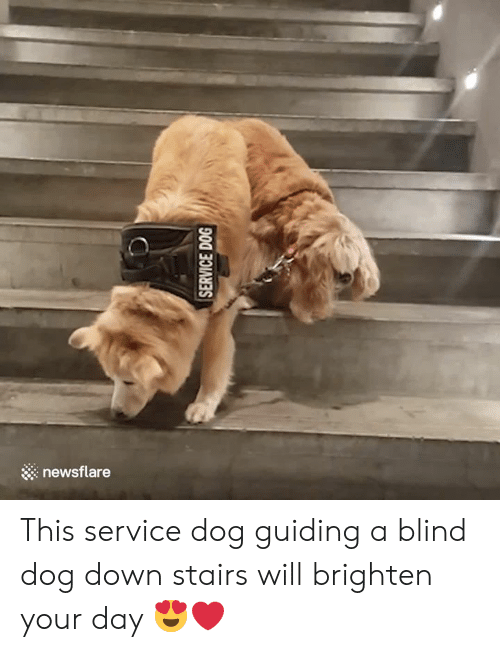 Dog, Down, and Day: newsflare This service dog guiding a blind dog down stairs will brighten your day  😍❤️