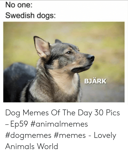 Animals, Dogs, and Memes: No one:  Swedish dogs:  BJÄRK Dog Memes Of The Day 30 Pics – Ep59 #animalmemes #dogmemes #memes - Lovely Animals World