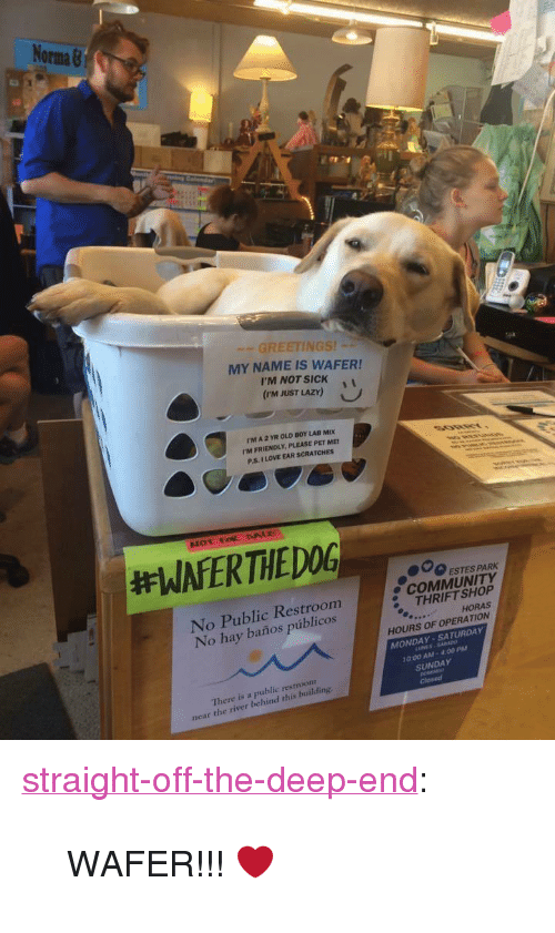 """the deep end: No  Orma &  GREETINGS!  MY NAME IS WAFER!  I'M NOT SICKi  (rm JUST LAZY)  rM A 2 YR OLD BOY LAB MIX  I'M FRIENDLY, PLEASE PET ME  P.S. I LOVE EAR SCRATCHES  000 ESTES PARK  No Public Restroom  No hay baños públicos  e COMMUNITY  THRIFT SHOP  HORAS  HOURS OF OPERATION  MONDAY-SATURDAY  0:00 AM- 400 PM  There is a public restroonm  near the river behind this building.  SUNDAY <p><a href=""""http://straight-off-the-deep-end.tumblr.com/post/155459723004/wafer"""" class=""""tumblr_blog"""">straight-off-the-deep-end</a>:</p><blockquote><p>WAFER!!! ❤</p></blockquote>"""