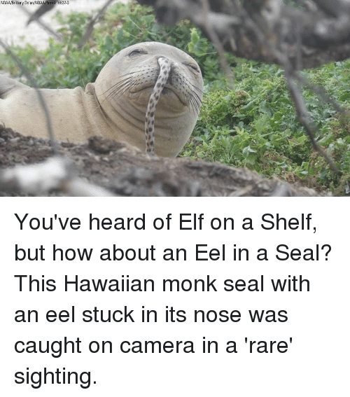 caught on camera: NOAA/Brittany Dolan/NOAA Permit 16632-0 You've heard of Elf on a Shelf, but how about an Eel in a Seal? This Hawaiian monk seal with an eel stuck in its nose was caught on camera in a 'rare' sighting.