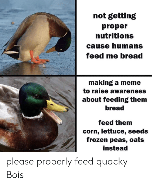 Making A Meme: not getting  proper  nutritions  cause humans  feed me bread  making a meme  to raise awareness  about feeding them  bread  feed them  corn, lettuce, seeds  frozen peas, oats  instead please properly feed quacky Bois​