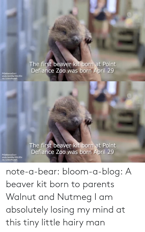 tiny: note-a-bear: bloom-a-blog:  A beaver kit born to parents Walnut and Nutmeg   I am absolutely losing my mind at this tiny little hairy man