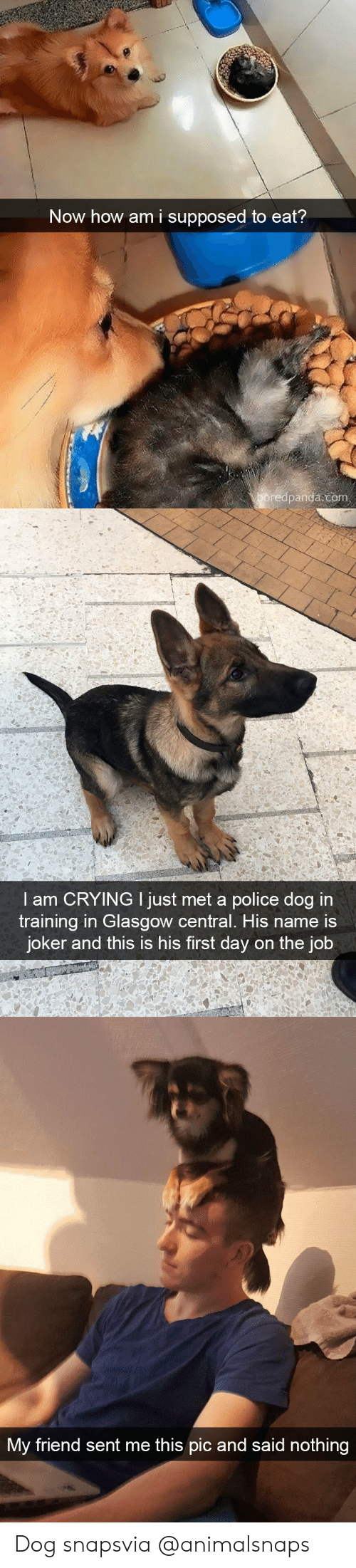 police dog: Now how am i supposed to eat?  boredpanda.com   I am CRYING I just met a police dog i  training in Glasgow central. His name is  joker and this is his first day on the job   My friend sent me this pic and said  IC  nothing Dog snapsvia @animalsnaps
