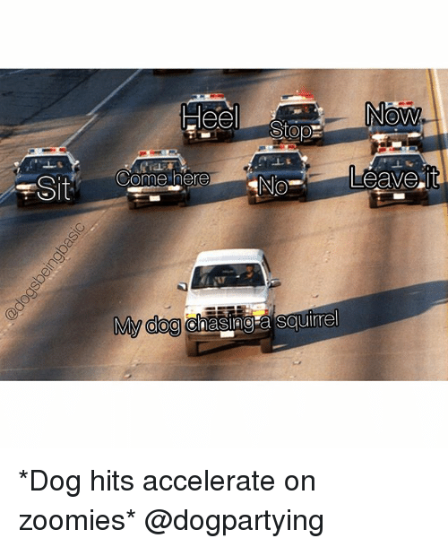 Memes, Zoomies, and Squirrel: Now  ome here  NO  My CIOgrenaSP9a squirrel *Dog hits accelerate on zoomies* @dogpartying