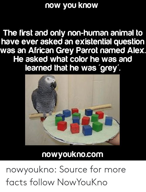 What Color: now you know  The first and only non-human animal to  have ever asked an existential question  was an African Grey Parrot named Alex.  He asked what color he was and  learned that he was grey'.  nowyoukno.com nowyoukno:  Source for more facts follow NowYouKno