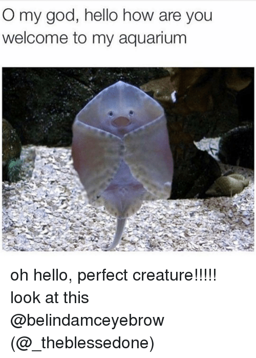 God, Hello, and Memes: O my god, hello how are you  welcome to my aquarium oh hello, perfect creature!!!!! look at this @belindamceyebrow (@_theblessedone)