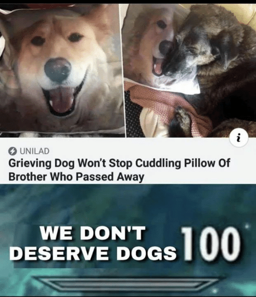 Dogs, Memes, and 🤖: O UNILAD  Grieving Dog Won't Stop Cuddling Pillow Of  Brother Who Passed Away  WE DON'T  DESERVE DOGS